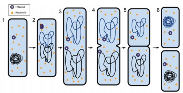 Deep Dive Into Mitosis and Meiosis: HSC Biology