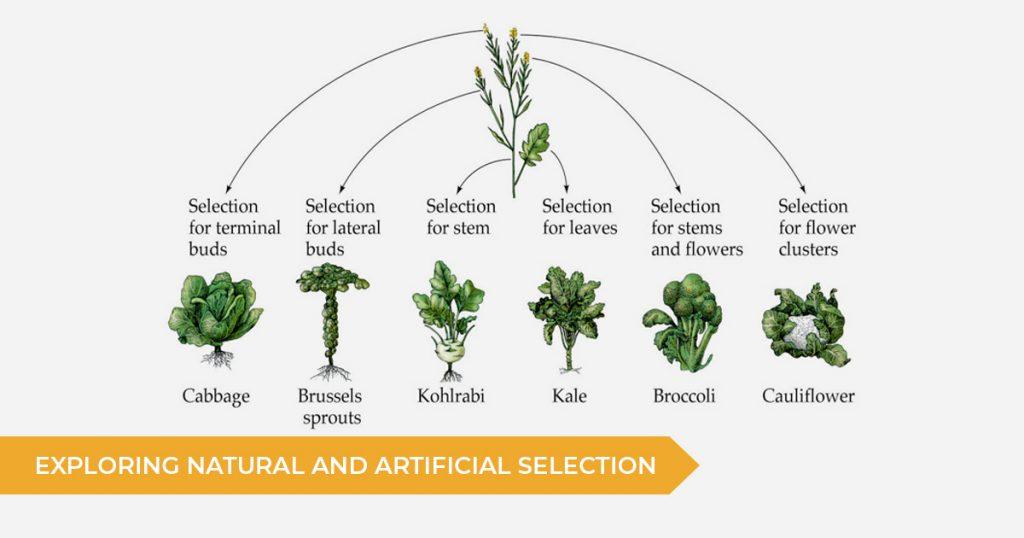 Exploring Natural & Artificial Selection: Module 6 HSC Biology